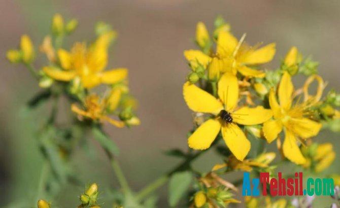 Mərkəzi Nəbatat Bağının kolleksiyasında viruslara qarşı təsirli dərman bitkiləri